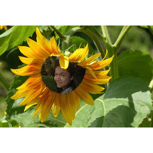 Your_picture_on_sunflower photo effect